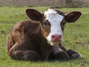 A calf in England, New Forest national park. (...