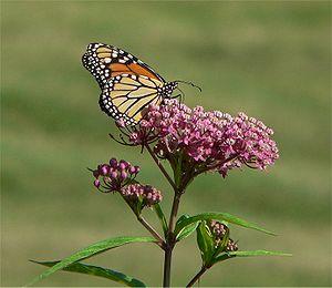 Monarch Butterfly feeding on Swamp Milkweed fl...