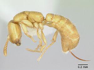 Profile view of ant Adetomyrma venatrix specim...