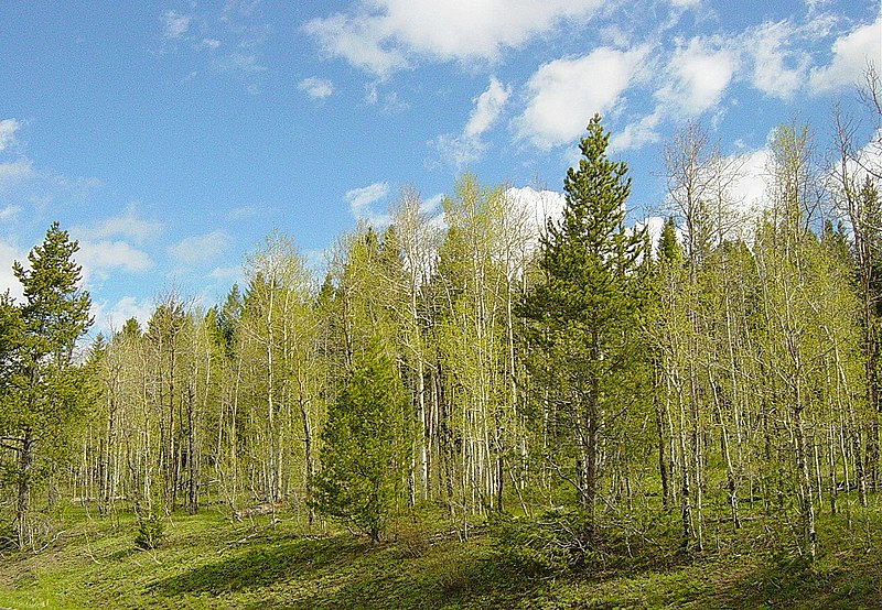 Impenetrable grove of aspens.