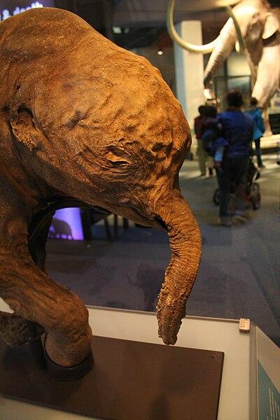 File:Baby Mammoth Lyuba Liberty Science Center 11.10.2010 Erik LeCar 2.jpg