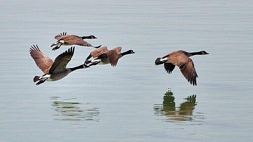 Branta canadensis -Lake Cunningham Park-8