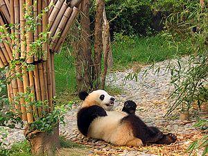 Chengdu-pandas-d12