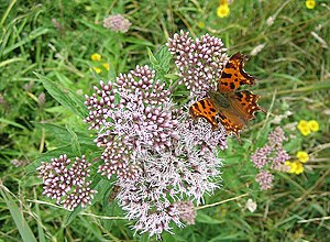 English: Comma butterfly on Hemp Agrimony near...