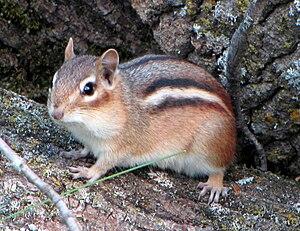 English: Eastern Chipmunk (Tamias striatus), G...