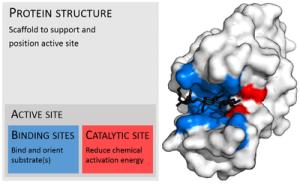 Enzyme  Wikipedia, the free encyclopedia