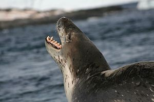 A leopard seal growling while sitting on the s...