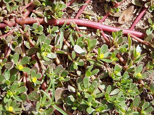 Portulaca oleracea stems
