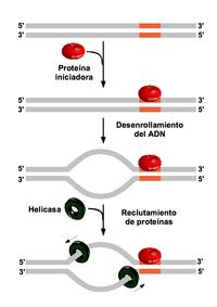 desnaturalización del ADN y reclutamiento de prote�nas.