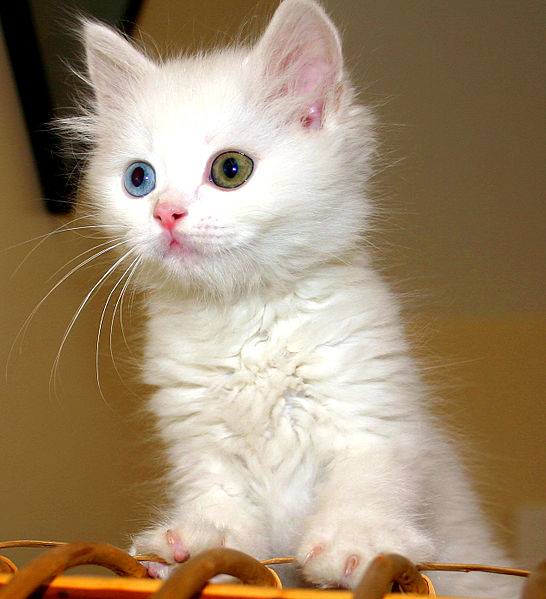 File:Turkish Van Cat.jpg