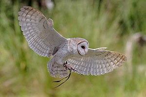 T. a. delicatula in flight