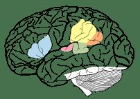Diagram of human brain showing surface gyri an...