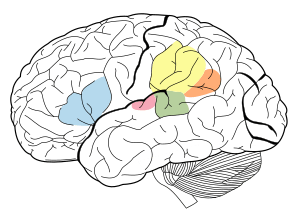 Language areas of the brain Angular Gyrus Supr...