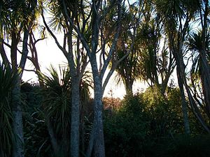 English: Cabbage trees (Cordyline australis) a...