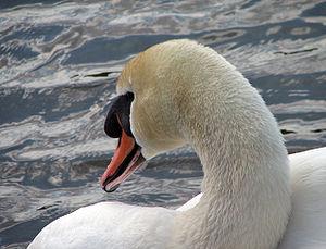 English: A close-up of a swan (Cygnus olor).