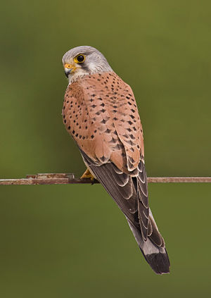 Common Kestrel (Falco tinnunculus). Français :...