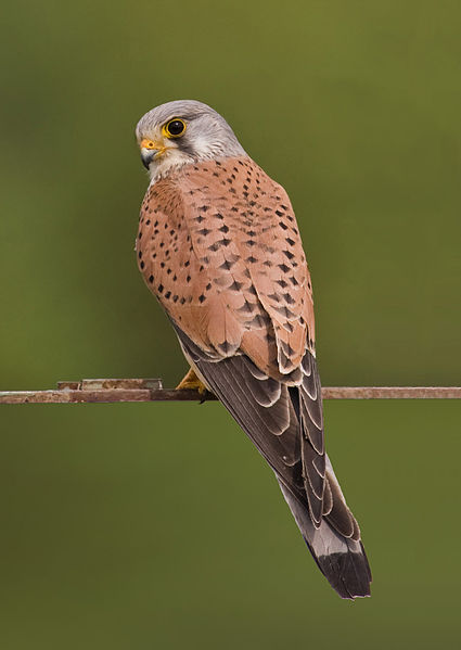 Common Kestrel (Falco tinnunculus). By Andreas Trepte