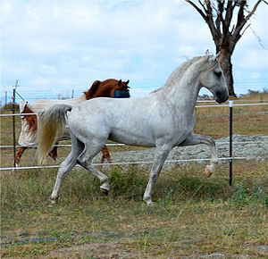 English: Favory Pallavicina, approved Lipizzan...
