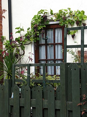 English: Grape vines Vines laden with nearly r...