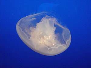 A Moon Jellyfish.