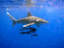 قرش سمكة ويكيبيديا