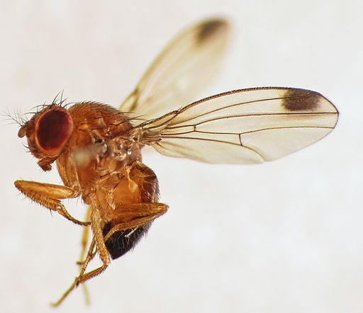 Spotted-wing Drosophila (Drosophila suzukii) male (15359228246)