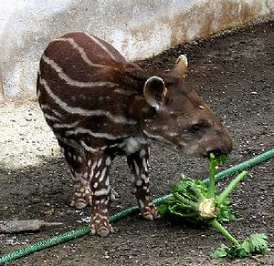A baby Brazilian Tapir with spots and stripes ...