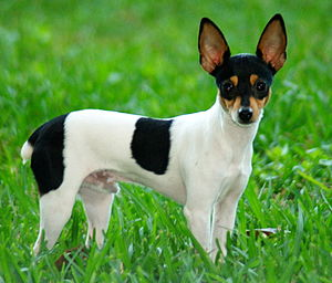 English: Toy Fox Terrier