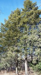 Eastern Hemlock Tsuga canadensis specimens at ...