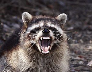 Yawning Raccoon