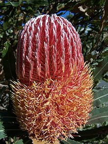 Banksia Menziesii Wikipedia