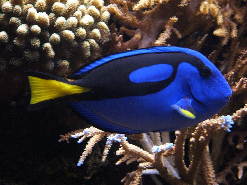 File:Blue tang (Paracanthurus hepatus) 02.jpg
