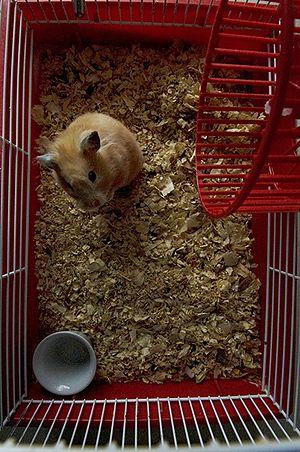 Français : Hamster en cage (Femelle)