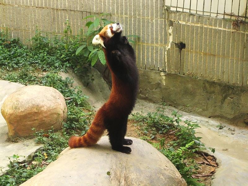 Red Panda Standing
