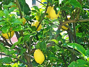 English: lemon tree Italiano: limone