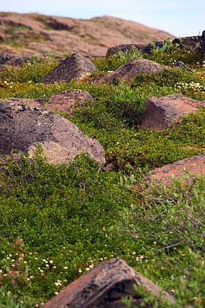 Wildflowers, Kugluktuk, Nunavut (2008).