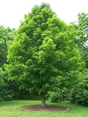 Sugar maple tree, Acer saccharum. Specimen at ...