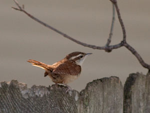 A Carolina Wren (Thryothorus ludovicianus) on ...