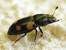Glischrochilus quadrisignatus (say).jpg