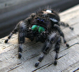 Phidippus audax, jumping spider: The basal par...