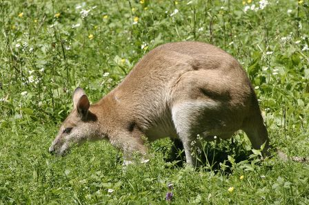 Macropus Agilis - The Agile Wallaby