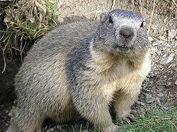 Marmot alpen (Marmota marmota)