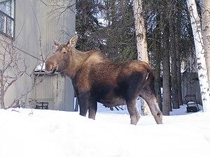 Moose in yard in Anchorage, Alaska