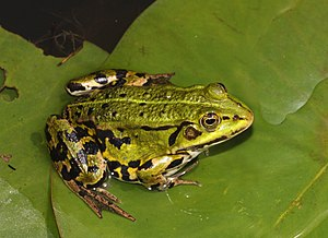 English: Edible Frog, Pelophylax esculentus (s...