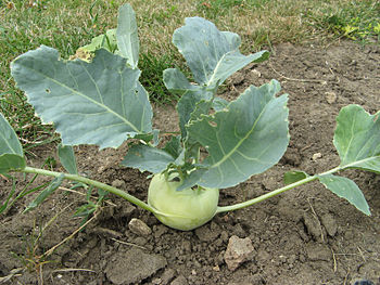 English: Kohlrabi (German Turnip) (Brassica ol...