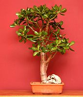 indoor bonsai wikipedia