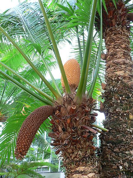 File:Cycas circinalis.jpg