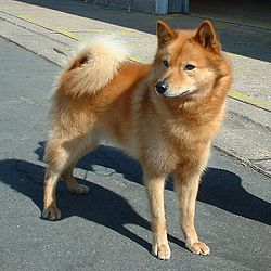 250px Finnish Spitz 600 Goberian Puppies For Sale