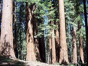 Giant Sequoia trees in the Giant Forest, Sequo...