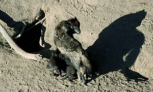 English: A wolf nurses her pups outside their den.